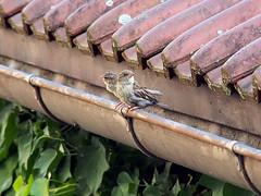 Two of us (guenther_haas) Tags: ulmerspatz sparrow spatz dachrinne dach neuulm olympus omd em5 spatzen efeu birds vögel roof