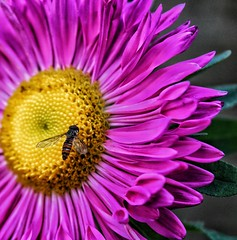 Pretty pink aster!😊 (LeanneHall3 :-)) Tags: pink aster petals hornet yellow green leaves closeup closeupphotography macro macrophotography macroflowerlovers macrounlimited flower flowersarefabulous flowerarebeautiful flowerflowerflower flowerscolors canon 1300d
