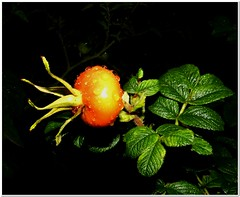 Summer evening (MaxUndFriedel) Tags: nature garden summer august night rose japaneseapplerose hip