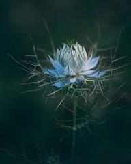 Limited (--StadtKind--) Tags: stadtkind teamsony alphaddicted sonyalpha macro macrophotography nature naturephotography flower depthoffield dof bokehlicious bokehaddicts bokehmasters bokeh