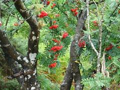 DSC00954 (guyfogwill) Tags: guyfogwill unitedkingdom tree devon okehampton dartmoor august gbr dartmoornationalpark ex20 westdevon mountainash rowan meldon