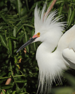 Snowy Egret, Florida