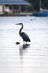 Blue Heron Fishing (JollyGreenJohn) Tags: blueheron heron bird fishing water whiterocklake dallas dfw texas usa lake tamron150600 canon6d