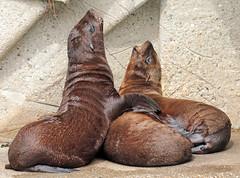 californian sealion Artis JN6A1446 (j.a.kok) Tags: zeeleeuw sealion californischezeeleeuw californiansealion animal artis amerika america noordamerika northamerica mammal zoogdier dier predator
