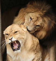 african lion Caesar and Kianga artis JN6A1684 (j.a.kok) Tags: leeuw lion africa afrika afrikaanseleeuw africanlion pantheraleoleo animal artis cat kat mammal zoogdier dier predator caesar kianga