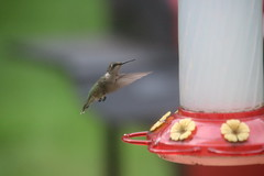 68/365/3720 (August 18, 2018) - Hummingbird at my Feeder (Saline, Michigan) - August 2018 (cseeman) Tags: hummingbirds birds saline michigan summer hummingbirdfeeder feeder hummingbird08192018 2018project365coreys yearelevenproject365coreys project365 p365cs082018 356project2018