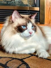 Ziva, the Ragdoll (sharod1031) Tags: cat kitten ragdoll purebreed resting bicolor seal nature