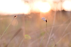 (Leela Channer) Tags: commonblue closeup goldenhour polyommatusicarus nature insect butterfly grasses sunset animal garrigue summer