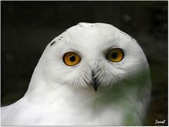 Harfang des Neiges - Snowy Owl (+ 2 photos) (Jogabi - Michèle) Tags: coth5 ngc sunrays5 npc
