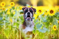 33/58 Grown? (Kerstin Mielke) Tags: boxerdog kurt sunflowers yellow