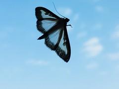 Transparence (Caméléo) Tags: blue sky ciel clouds butterfly transparent papillon nuages coel bleu