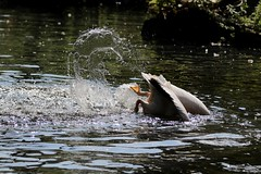 Pelikan - *blubb* (mux68-uh) Tags: zoo tierpark hellabrunn tierparkhellabrunn münchen munich pelikan