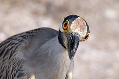 Schau mir in die Augen... (naturgucker.de) Tags: ngid1621655538 nyctanassaviolacea krabbenreiher