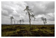 Stately Dead Trees (P_Hibon) Tags: ardennen baraquemichel belgië noirflohai waimes bewolkt bomen bos donkerewolken grijs heide landschap verbrandebomen belgium burnt trees deadtrees forrest clouds gray rainy heathland ardennes landscape