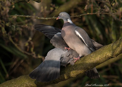 Know your place (muppet1970) Tags: woodpigeon pigeon bird fight tree winner nature