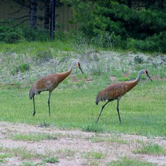 Sandhill Crane (BennBooCreations) Tags: sandhillcranes michigansupperpeninsula nature wildlife crane