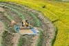 _Y2U4144.0914.Sử Pán.Sapa.Lào Cai (hoanglongphoto) Tags: asia asian vietnam northvietnam northwestvietnam landscape scenery vietnamlandscape vietnamscenery sapalandscape harvest harvestinsapa hillside canon canoneos1dx canonef70200mmf28lisiiusm riceterraced tâybắc làocai sapa sửpán phongcảnh phongcảnhsapa lúachín mùagặt sapamùagặt sapamùalúachín sườnđồi curve abstract đườngcong trừutượng phongcảnhcóngười người ngườiđậplúa landscapewithpeople