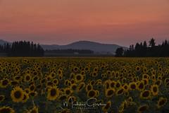 Sunflower Sunset (NikonDigifan) Tags: sunflowers sunset flowers farming inlandnorthwest pacificnorthwest nikond750 nikon nikon28300 nikonlenses agriculture rural clouds sky dusk mikegassphotography deerpark spokane