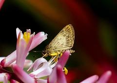 Comma Brown-Skipper --- Callimormus juventus (creaturesnapper) Tags: hesperiidae skippers butterflies lepidoptera costarica insects xandariresort