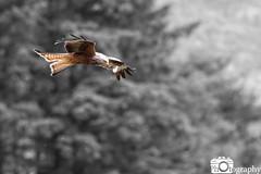 Feeding Kite 1 (Mike House Photography) Tags: red kite bird prey ornithology birdwatching watching feeding flying wing wings beak feathers overcast sunny grey brown black yellow animal photography wildlife