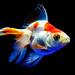 Fantail (goldfish) of Sumida Aquarium in Tokyo Sky Tree Town : リュウキン(すみだ水族館)