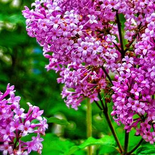 Toronto Ontario ~ Canada ~ Edwards Gardens ~ Botanical Garden ~ Lilac Flowers