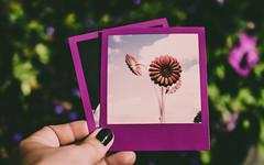 Polaroids.. (Emma Yeardley) Tags: instantfilm 600film colourframesedition polaroidoriginals polaroid photos bokeh dof purple purplepassion colourfusion nikon d7500