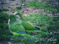 Complicidad entre dos. (habanera19) Tags: street animal nature adorable tierno cataluya sumer cataluña beautiful cotorras aves barcelona españa birds