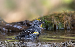 Yellow-rumped Warbler (dennis_plank_nature_photography) Tags: avianphotography thurstoncounty yellowrumpedwarbler birdphotography naturephotography butterbutt wa avian birds blind copse drip littlerock nature pond