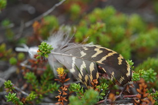 Feather in the Heather