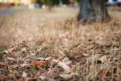 Dry grass (sixlsi) Tags: grass dry latesummer city urbannature
