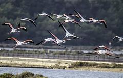 Flamencos alzando el vuelo (ibzsierra) Tags: ibiza eivissa baleares canon 7d flamenco flamingo ave bird oiseau salinas parqwue natural vuelo alzar