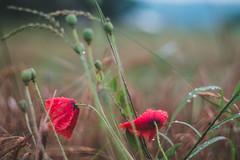 Poppies (bluishgreen12) Tags: poppies field summer sanskimost sanariver sana bosnia vintagelens carlzeissplanar f17 50mm bokeh plants sky