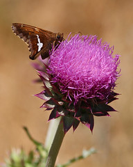 Butterfly on Thistle (Circled Thrice) Tags: rma rockymountainarsenal nationalwildliferefuge wildliferefuge refuge nwr butterfly thistle insect invertebrate flower bloom blossom park urbanpark wild wildlife nature natural commercecity denver aurora colorado co canon eos rebel t5i 300mm