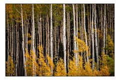 Fall Aspens (Terry L. Olsen) Tags: trees aspens colorado fallcolor autumn landscape lightroomclassiccc