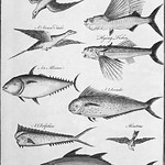 Vintage illustration of the flying fish and its enemies of the air and water published in 1745-1747 by Thomas Astley. thumbnail