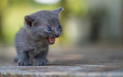 kittens II (02) (Vlado Ferenčić) Tags: animals animalplanet vladoferencic catsdogs vladimirferencic cats kitty kittens kittysuperstar nikond600 hrvatska croatia tamron9028 zagorje klenovnik
