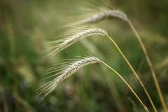 1, 2, 3 (pszcz9) Tags: przyroda nature natura naturaleza zbliżenie closeup zboże grain bokeh beautifulearth sony a77 lato summer