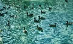 Multitud (candi...) Tags: patos lago agua naturaleza nature aves airelibre sonya77