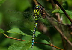 Southern Hawker Dragonfly (1 of 25) (ianrobertcole1971) Tags: southern hawker dragonfly macro nikon d7200 300 f4 pf ed insect invertebrate