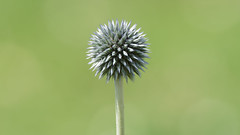 Natural Weapon (Franck Zumella) Tags: flower fleur nature green mace masse darme arme weapon vert