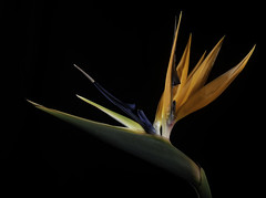A Bird Of Paradise Flower In The Light (Bill Gracey 20 Million Views) Tags: birdofparadise fleur flower flor colorful color orange blue red nature garden lakeside roguegrid backlit backlighting yongnuo yongnuorf603n blackbackground homestudio tabletopphotography sidelighting softbox