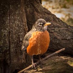 Urban Robin (hickamorehackamore) Tags: americanrobin robin washingtondc urbanbird