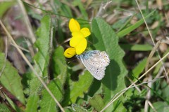 Common Blue Butterfly (Derek Morgan Photos) Tags: dorset studland commonblue commonbluebutterfly