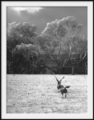 guardians (Andrew C Wallace) Tags: capebarrengoose churchillisland phillipisland victoria australia thephotontrap ir infrared microfourthirds m43 olympusomdem5 blackandwhite bw
