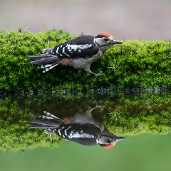 Twins! (Jambo53 ()) Tags: grotebontespecht greatspottedwoodpecker nature wildlife nikond800 nikkon500f4 bird vogel netherlands nederland reflection spiegelbeeld mirror