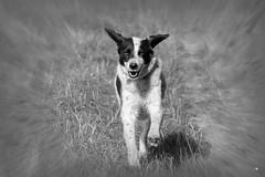 Pamuk hebt ab (reinerkuentzler) Tags: hund black white