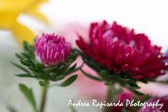 Summer colors (Andrea Rapisarda) Tags: fiori flowers floral composition nikon d750 105mm sigma garden colors colori summer estate ©allrightsreserved bokeh macro nature natura