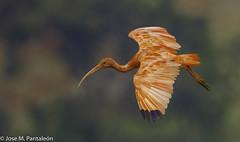 5-LIFER-Esta especie se encuentra en tierras bajas del valle bajo del río Magdalena y al oriente de los Andes. Su nombre deriva del griego eudokimos que significa glorioso, mientras que el epíteto ruber hace referencia a su coloración roja (Cimarrón Mayor 14,000.000. VISITAS GRACIAS) Tags: ordenpelecaniformes familiathreskiornithidae subfamiliathreskionithinae géneroeudocimus corocora corocororojo ibiscolorada ibisescarlata ibisrosado cocorojo nombrecientificoeudocimusruber nombreinglesscarletibis lugardecapturaflorencia caquetá colombia ave vogel bird oiseau paxaro fugl pássaro птица fågel uccello pták vták txori lintu aderyn éan madár cimarrónmayor panta pantaleón josémiguelpantaleón objetivo500mm telefoto700mm 7dmarkii canoneos canoneos7dmarkii naturaleza libertad libertee libre free fauna dominicano pájaro montañas
