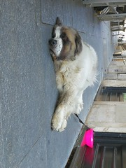 La pennica è sacra. (VauGio) Tags: sanbernardo torino turin siesta riposo dormire sleeping sleep dog cane rest huawei p10 leica pennica albertosordi cof039patr cof039dmnq lacittàmetropolitanaditorinovistadavoi
